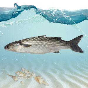 قیمت ماهی بیاح