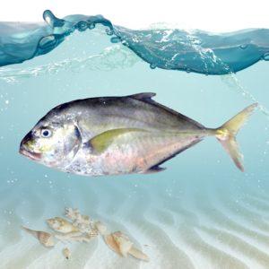خرید ماهی جش سفید
