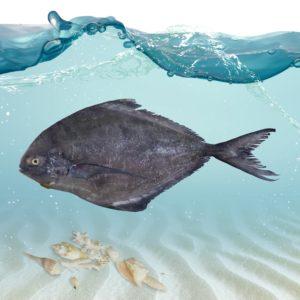 خرید ماهی حلوا سیاه