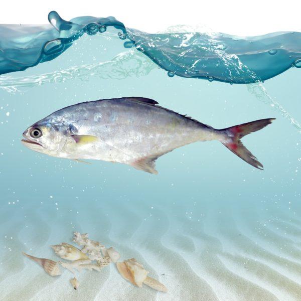 خرید اینترنتی ماهی سارم