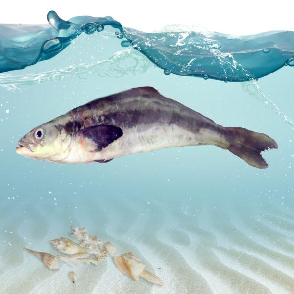 فروش ماهی سکن
