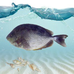 فروش ماهی صافی