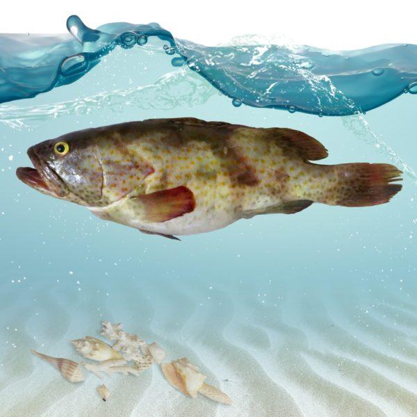 خرید ماهی هامور