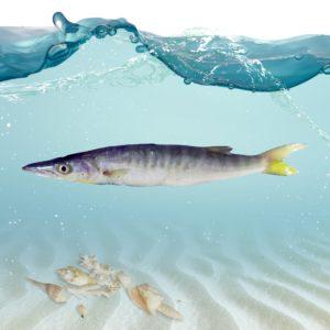 فروش آنلاین ماهی باراکودا