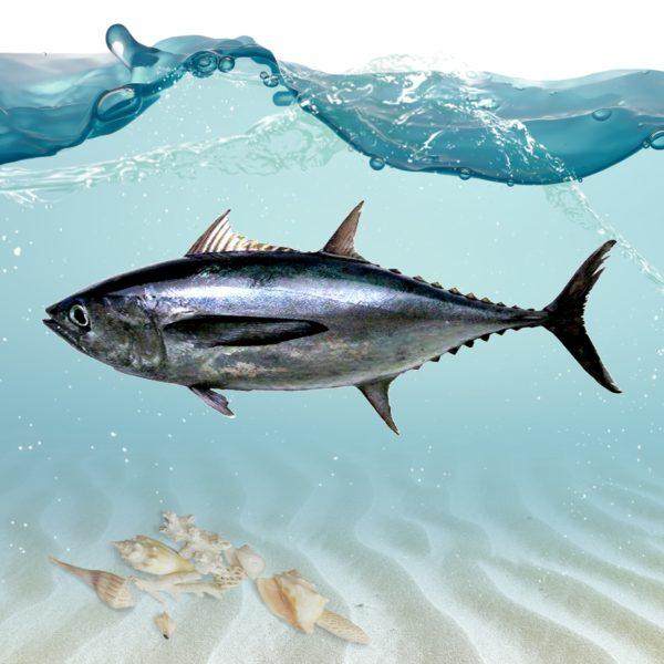 خرید ماهی تن