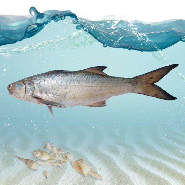 ماهی راژگو