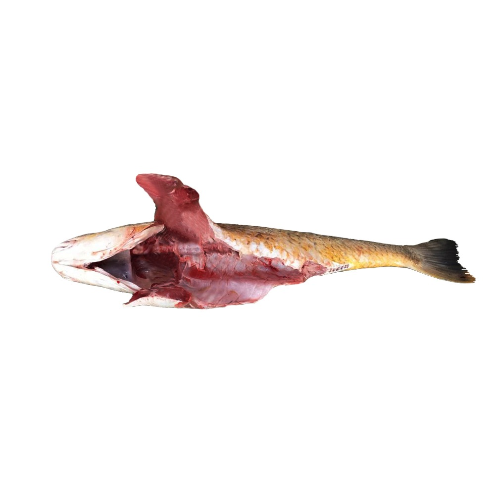 خرید ماهی سنگسر شکم خالی