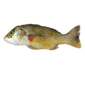 خرید ماهی سنگسر