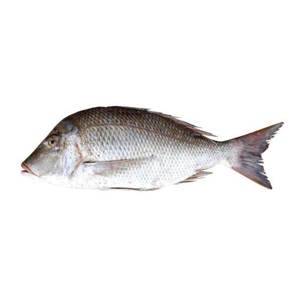خرید ماهی شعری شکم خالی