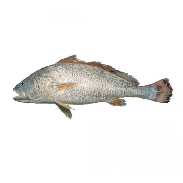 خرید ماهی میش